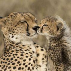 Big Cats, Cheetah, Baby Animals, Fox, Nature, Cute, Beautiful, Naturaleza, Baby Pets
