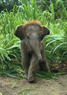 Baby Asian Elephant in Tall Grass william albert allard