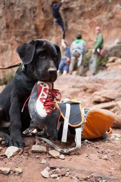 Always be responsible when climbing with your dog.  Do not let them chew on gear or hang out on the ropes, it can cause gear failure and death.  This pup looks cute though. As long as you don't mind getting your $165 climbing shoes shredded.