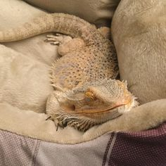 """My Bearded Dragon When She Got Her First """"Dog"""" Bed. via aww on May 06 2018 at Bearded Dragon Habitat, Bearded Dragon Cute, Les Reptiles, Cute Reptiles, Amphibians, Cute Little Animals, Cute Funny Animals, Funny Pets, Bearded Dragon Enclosure"""
