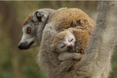 Adorable baby lemur born at Howletts Wild Animal Park in Kent