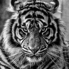 Best tattoo forearm tiger lion Ideas - k ö r p e r w e l t I BEMALT - # Tiger Drawing, Tiger Art, Beautiful Cats, Animals Beautiful, Animals Amazing, Tiger Tattoodesign, Animals And Pets, Cute Animals, Fierce Animals