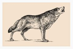 Animal Sketches, Animal Drawings, Cute Drawings, Wolf Drawings, Wolf Pack Tattoo, Raven And Wolf, Lion King Drawings, Wolf Illustration, Wolf Tattoo Design