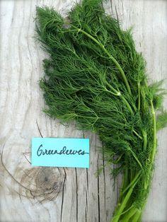 Greensleeves eneldo hierba culinaria compacto Medicinal utiliza uso fresco muy frondosa variedad rara reliquia semillas