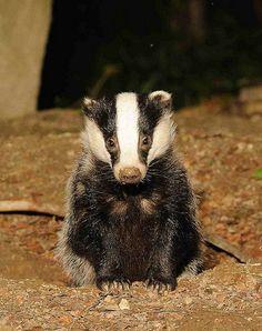 yearling badger | Flickr - Photo Sharing!