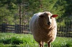 Sheep for wool.