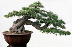 Semi cascade Bonsai style Han-kengai - Tìm với Google