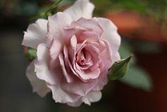 冬冬玫瑰網-商品詳情-新浪