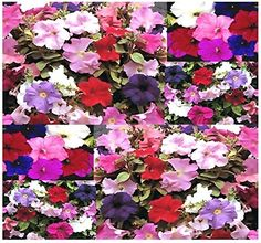 100 Supercascade Series Mix  PETUNIA SEED SEEDS  Petunia * You can find out more details at the link of the image.
