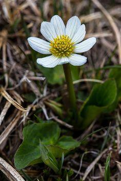 Marsh Marigold - Psychrophila leptosepala, Rocky Mountain National Park, Colorado (pinned by haw-creek.com)