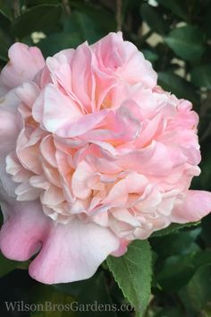 Buy High Fragrance Camellia For Sale Online From Wilson Bros Gardens Perfume Diesel, Dwarf Gardenia, Camellia Plant, Perfume Versace, Perfume Calvin Klein, Fragrance Online, Celebrity Perfume, Garden Online, Roses