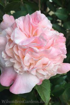 Buy High Fragrance Camellia For Sale Online From Wilson Bros Gardens