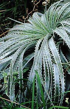 Hechtia argentea - Bromeliad Plant.