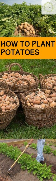 How to Plant Potatoes PotatoGrowing Tips How to Grow Potatoes Potato Growing Tips and Tricks Gardening Vegetable Gardening Root Vegetables How to Grow Root Vegetables Vegetable Gardening Gardening 101 Popular Pin # Potato Gardening, Planting Potatoes, Container Gardening Vegetables, Vegetable Gardening, Vegetable Ideas, Growing Tomatoes, Growing Vegetables, Root Vegetables, Veggies