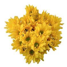 Poms - Yellow Daisy - 50 Stems - Sam's Club