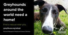 Find a greyhound rescue near you!