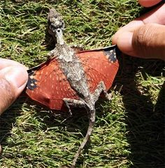 Draco Volans, or Flying Dragon. A member of the genus of gliding lizards Draco.