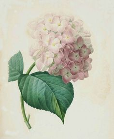 """Joseph Redoute (1759 - 1840 ), Belgian painter and botanist, known for his watercolours of roses, lilies and other flowers at Malmaison. He was nicknamed """"The Raphael of flowers"""". He was an official court artist of Queen Marie Antoinette, and he continued painting through the French Revolution and Reign of Terror."""
