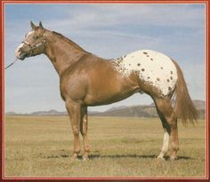 Pedigree for Amarillo Miss Mattie, photos and offspring from the All Breed Horse Pedigree Database. Pretty Horses, Beautiful Horses, American Saddlebred, Appaloosa Horses, Horse World, Architecture Tattoo, Horse Saddles, Horse Breeds, Horse Care