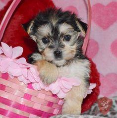 Cody - A Morkie Puppy