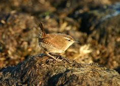 Wren @wildlife_uk