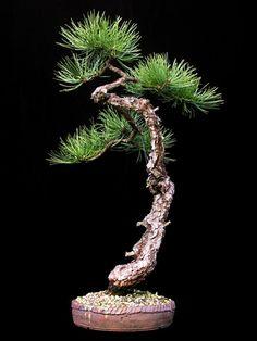 white pine bonsai - Google Search