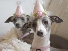 Are these Italian Greyhounds pups cute or what?!?!  From Bella's Rose Cottage blog....