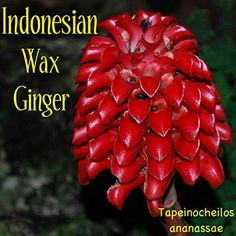 ~RED WAX GINGER~ Tapeinochilos ananassae INDONESIAN WAX GINGER small pot'd PLANT -- Awesome products selected by Anna Churchill