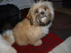 best images, photos and pictures ideas about lhasa apso puppies - oldest dog breeds