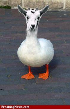 (2011-06) Duck + goat = doat?