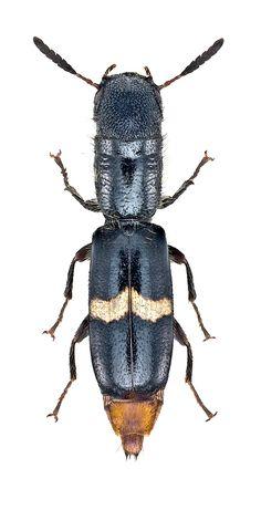 Cylidrus megacephalus