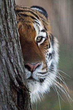 Tiger: