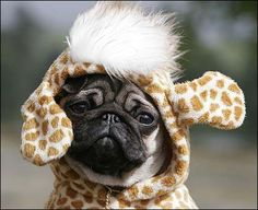 The fancy dress contest at the 125th anniversary of the Pug Dog Club.