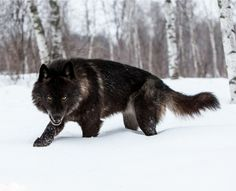 Werewolves are among us! by Conrad Tan Black Timber Wolf