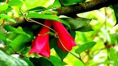 Copihue flor nacional