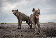 Hyenas by Will Burrard-Lucas on 500px