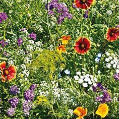 Gurney's®️ Beneficial Bug Blend Entice Beneficial Insects to Your Garden! This superior blend of flowers & herbs has been specially formulated to be irresistible to good bugs such as ladybugs & lacewings, which work to eliminate destructive pests Attractive to honeybees & butterflies. Mix contains varieties of Annual Candytuft, Sweet Alyssum, Dwarf Cosmos, Cilantro, California Poppy, Baby Blue Eyes, Lance-Leaved Coreopsis, Annual Gaillardia, Shasta Daisy, Dill, Black-Eyed Sus