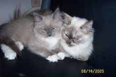 Photos of RagaMuffin Kittens and RagaMuffin Cats