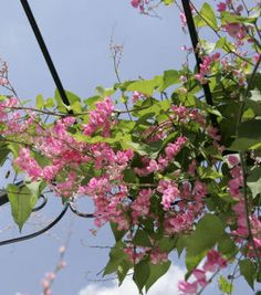 Coral vine (Antigonon leptopus): On lattice at side of front porch; full to part sun, plant spring or fall