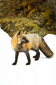 ☀Red Fox In Snow by Richard Wear*