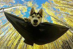 Insta: @desertstorm_trooper #wildlifeplanet #gopro #husky #photooftheday #hammock #dog