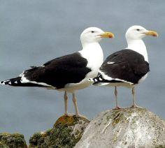 Great Black-backed Gulls   Birds in Palm Coast, Flagler Beach, Florida http://www.palmcoastandtheflaglerbeaches.com/
