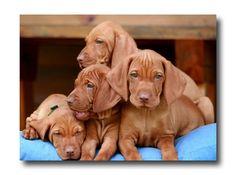 Hungarian Vizsla Puppies
