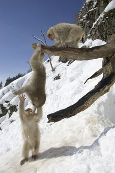 """""""Three Japanese macaques (snow monkeys) play on a branch, one hanging."""" by National Geographic Primates, Sumatran Orangutan, Japanese Macaque, Baby Animals, Cute Animals, Three Wise Monkeys, Ape Monkey, Cow Pictures, Animal Antics"""