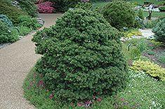 Gregoryana Spruce (Picea abies 'Gregoryana') at English Gardens