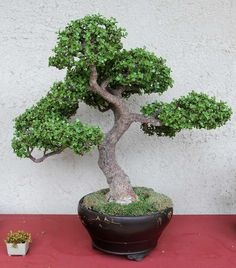 Jade bonsai after 4 years training (18 years old)