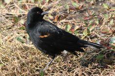 Red-winged Blackbird - El Dorado Regional Park