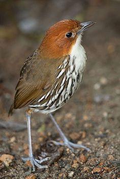 Chestnut-crowned Antpitta (Grallaria ruficapilla) - found in Colombia, Ecuador, Peru, and Venezuela. I Like Birds, Kinds Of Birds, Pretty Birds, Small Birds, Little Birds, Colorful Birds, Beautiful Birds, Crazy Bird, Photo Images