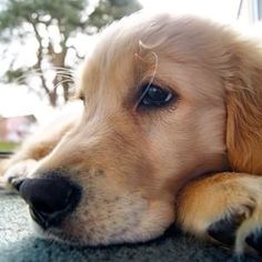 Pippa ~ Golden Retriever ~ Classic Look