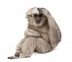 stock photo of gibbon - Young Pileated Gibbon - JPG